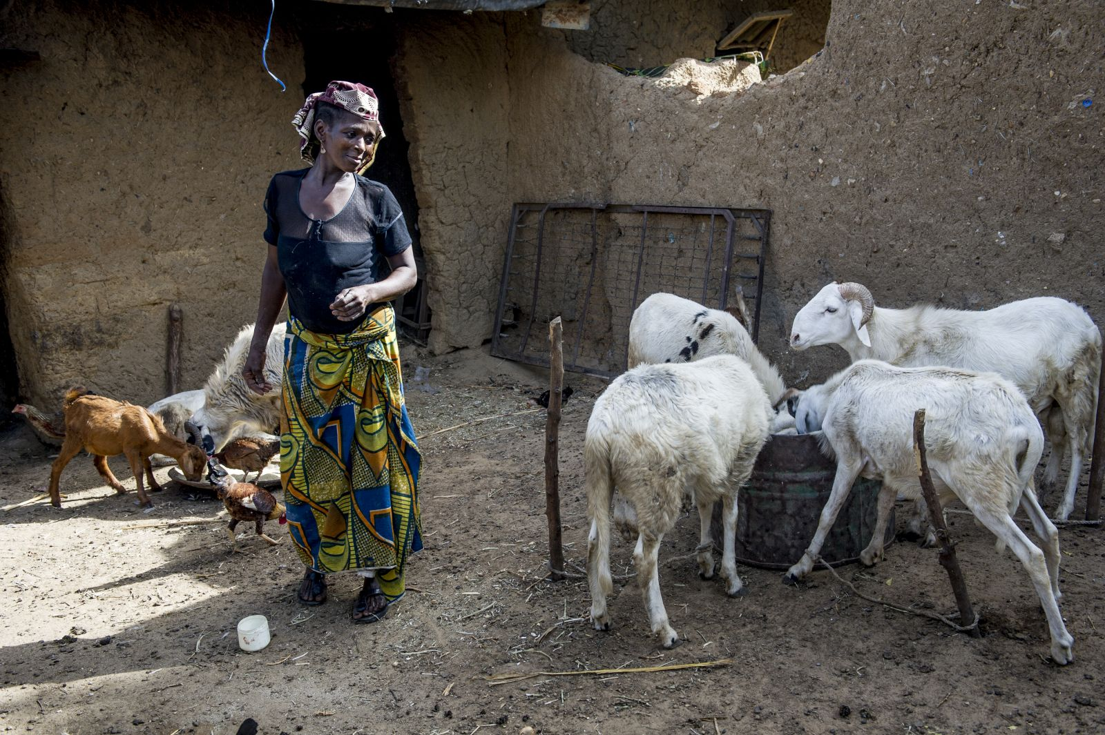 A savings and loan club is helping Ummi Lawal and several thousand women develop small businesses and contribute to their family income. Ummi Lawal started with sugar cane and now raises and sells goats.